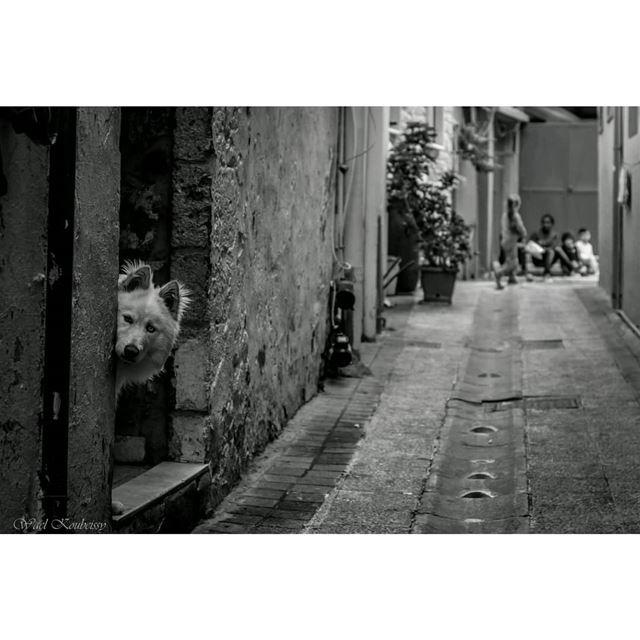 زواريب صور tyre lebanon dog urban pet street streetphoto ... (Tyre, Lebanon)