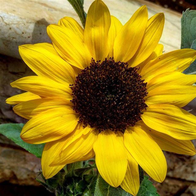 In love with this 💙 Hello 😌 lebanon lebanese flowers flower sunflower...