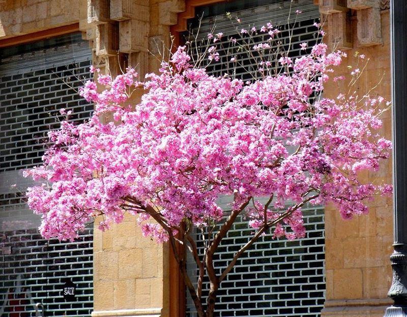 beirut lebanon spring pink explore travel explorepage exploretocreate ... (Beirut, Lebanon)
