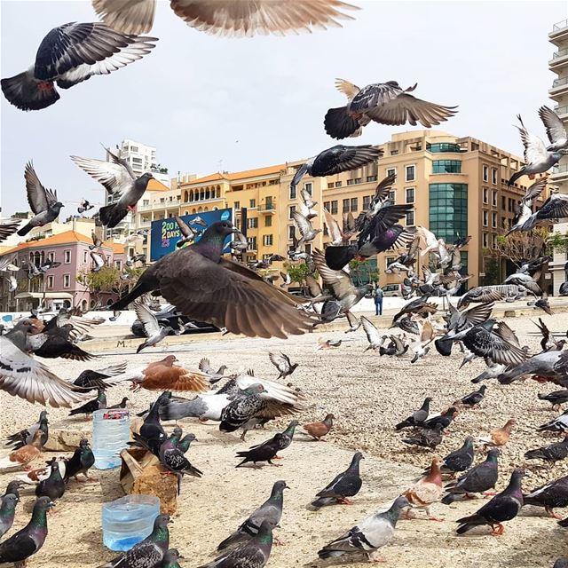 ❤❤🇱🇧🦅🦅 pigeon birds  friendly wings  flying  beirutdowntown ... (Beirut, Lebanon)