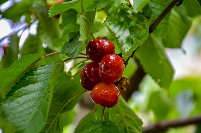 Have a Cherry Full Day 🍒 -📍Marjaba, Mount Lebanon 🇱🇧- cherry ... (Marjaba, Mont-Liban, Lebanon)