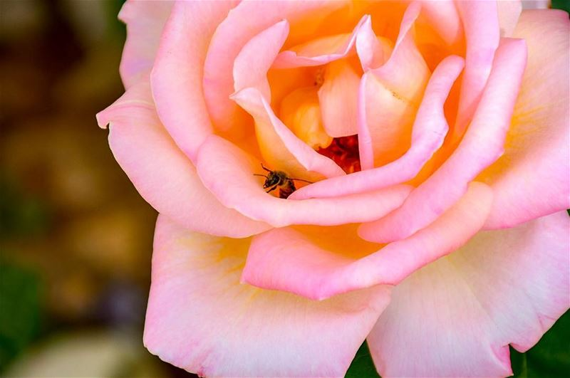 For Bees, the Flower is the Fountain of Life.. For Flowers the Bee is the... (Marjaba, Mont-Liban, Lebanon)