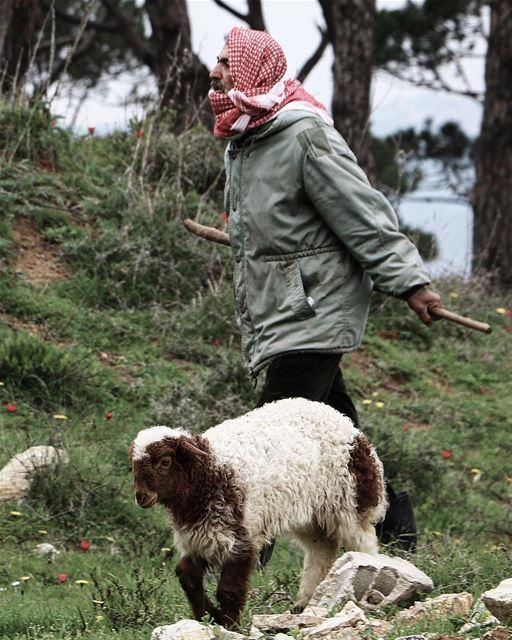 Bossy conversations 🐑 (Marjayoûn, Al Janub, Lebanon)