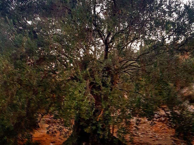 بستان_الزيتون حيث كان يصلي المسيح اقدم شجر زيتون jesus olives ... (Kawkaba)