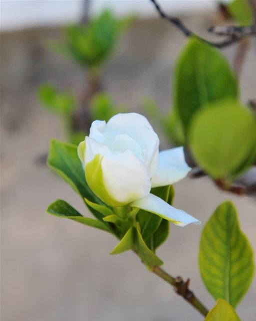 Very few flowers compare to gardenia in terms of scent... what's your...