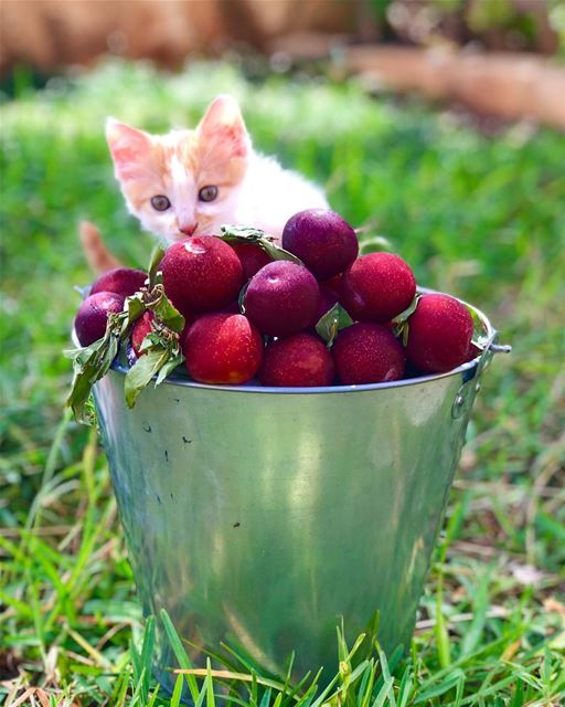خوخ funnest kitty catchthemoment fruity instapic insta_lebanon ... (Ghaziyé, Al Janub, Lebanon)