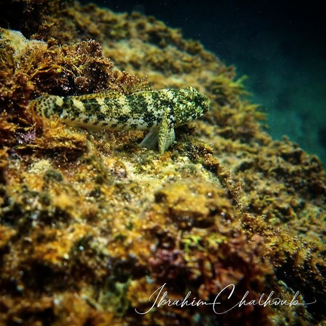 Camouflage - ichalhoub in Batroun north Lebanon shooting underwater ...