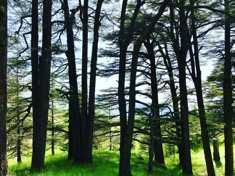 جذورها بالأرض ورأسها بالسّماء.. whatworksformaya wheninlebanon roadtrip... (Cedars of God)