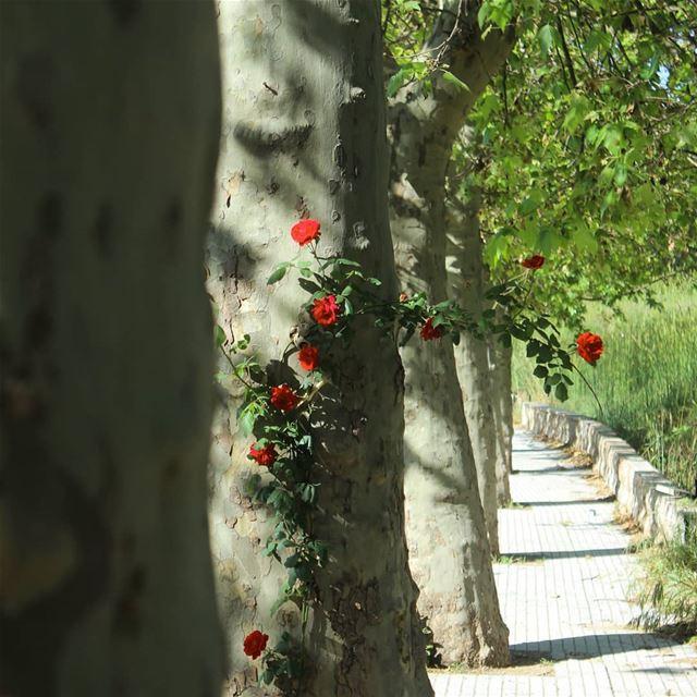 Et mon amie ~la rose~ 🌹قالت الشجرة 🌳❤ ... lebanon sawfar larose ... (Cornish Sawfar)