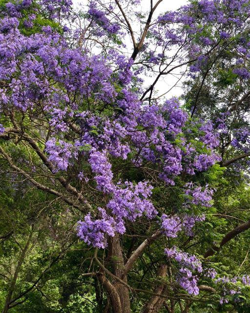 Loving that tree and it's purple flowers. trees flowersofinstagram ...