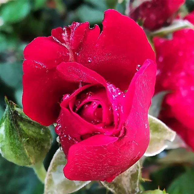 morning  rose  after  rain  tagsforlikes  picoftheday  photooftheday ...