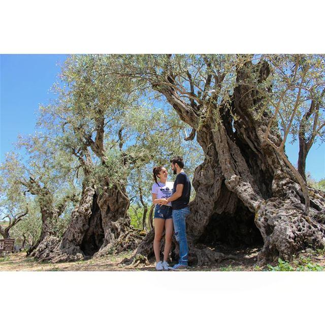 'Olive trees of Noah'! livelovelebanon livelovebatroun lebanonadventure... (Bchaalé, Liban-Nord, Lebanon)