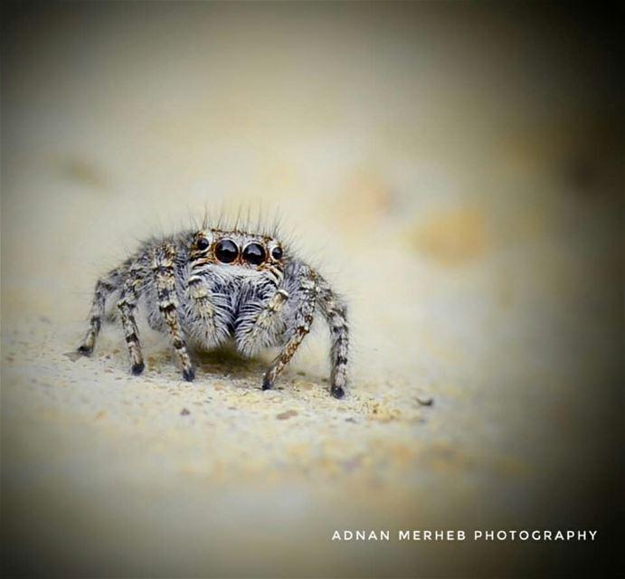 Cute spider 😍❤ anadolugram altinkare turkportal fotografemekcileri ... (Biré, Liban-Nord, Lebanon)