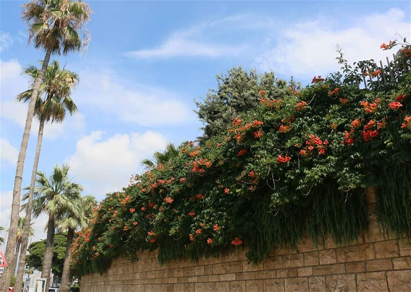Beirut keeps surprising me... These beautiful flowers on AUB wall are... (Beirut, Lebanon)