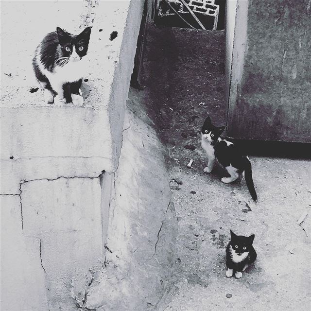 Family Portrait. cats cat catsofinstagram cats_of_instagram ... (Beirut, Lebanon)