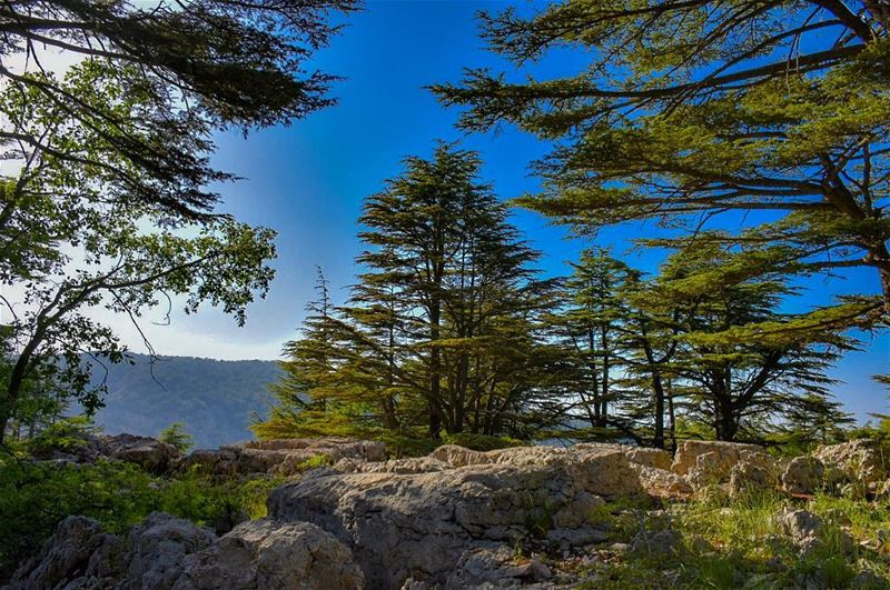The trees of the Lord are full of sap; The Cedars of Lebanon, which he... (Cedar Reserve Tannourine)
