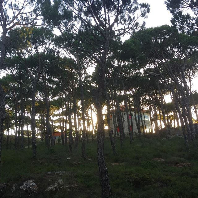 pinetrees pineforest trees naturephotography nature sunset ... (Bologne, Mont-Liban, Lebanon)
