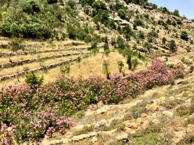 The river bed was covered with pink laurel trees for miles on end. (And my... (South Lebanon)