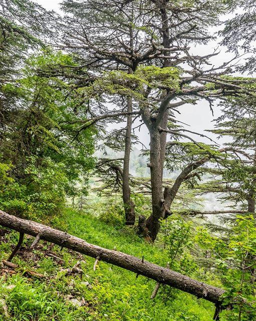 Fight desertification. Save trees. ... (Ehden, Lebanon)