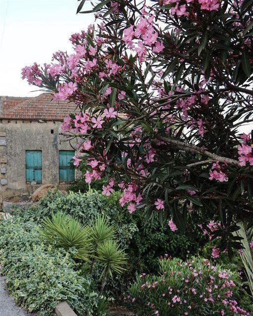 She blooms only at home @livelovemarjeyoun (Marjayoûn, Al Janub, Lebanon)