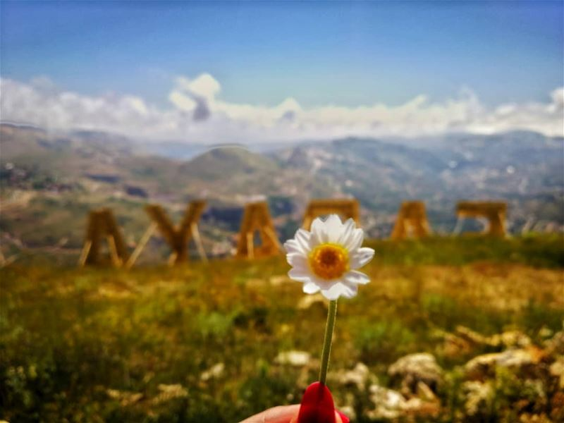 """All summer she scattered the daisy leaves;They only mocked her as they... (Faraya, Mont-Liban, Lebanon)"