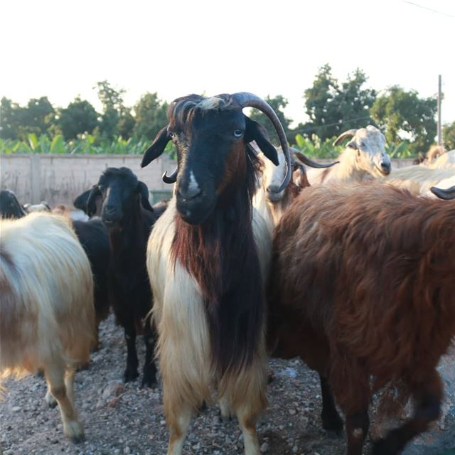 🐏🌄 goathead goatfell goatmilk goatface welove_goats goatselfie ... (Lebanon)