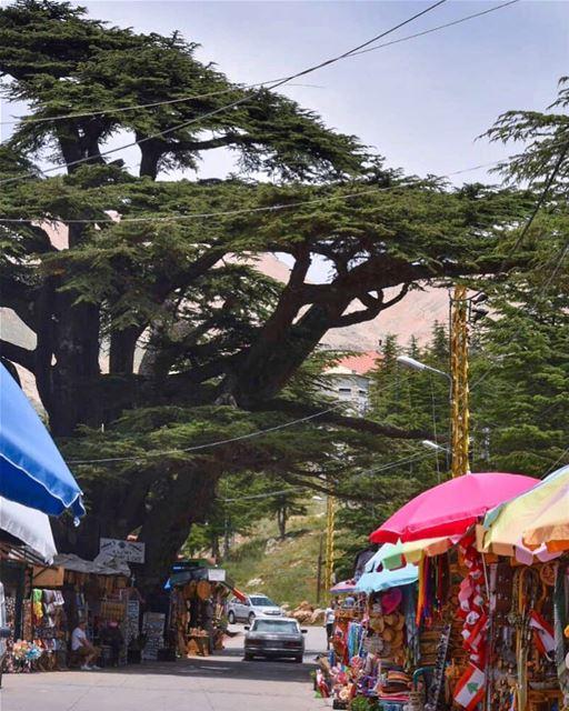 لبنان يا أمل الحياةرمز الطفولة والبراءيا أرزة نبتت جذوراًغصناً أبياً في... (The Cedars of Lebanon)