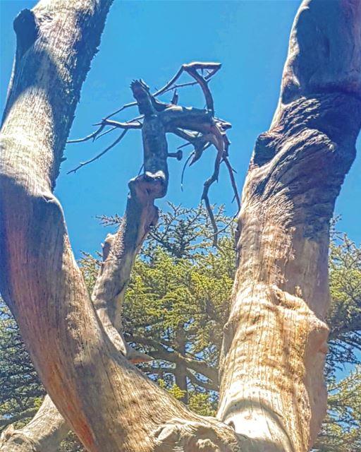 cedre lamartine poete france lebanon cedars cedarsofgod @mylebanon_ (Cedars of God)