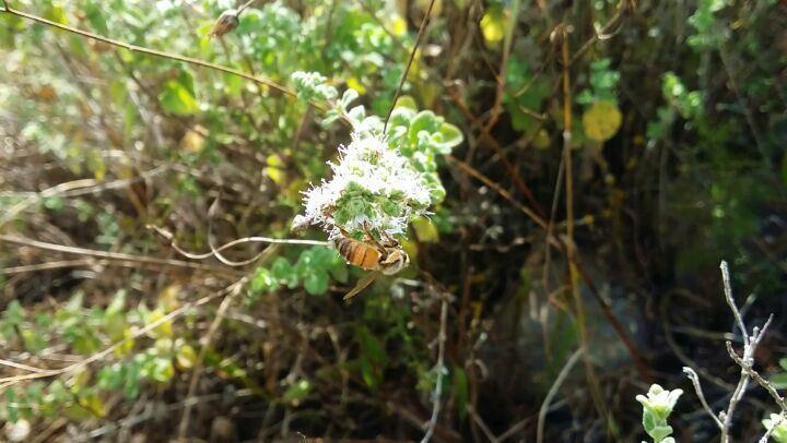زعتر و ... نحل bee zaatar nature lebanon southlebanon ...