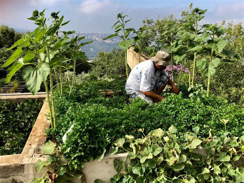 Harvesting parsley and cucumbers on the roof. Best location to grow a... (Dayr Al Qamar, Mont-Liban, Lebanon)
