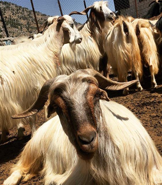Acquaintance goats animals streetphotography cheeba mountains farm ... (Cheeba)
