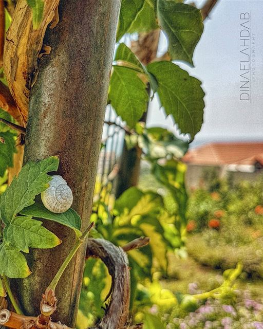🐌🍀🌿____________________ 961lens naturephotography nature_perfection... (USJ CEU Liban Nord)