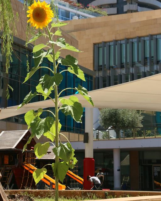 What a great encounter in the city! A beautiful sunflower rises towards... (International College - IC)