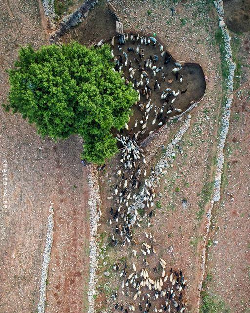 """القطيع يأوي الى زريبته قبل المغيب ❤ (زريبة الماعز: يقال لها """"سيرة"""" محلياً)..."""