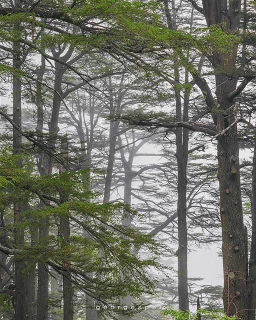 Cedrus Libani 🇱🇧 Bsharri District ..... photoshop artofvisuals... (The Cedars of Lebanon)