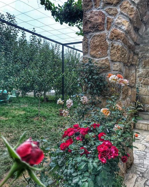 🌹🍃.. flowers lebanon garden mylebanon instalebanon instagood ... (Lebanon)