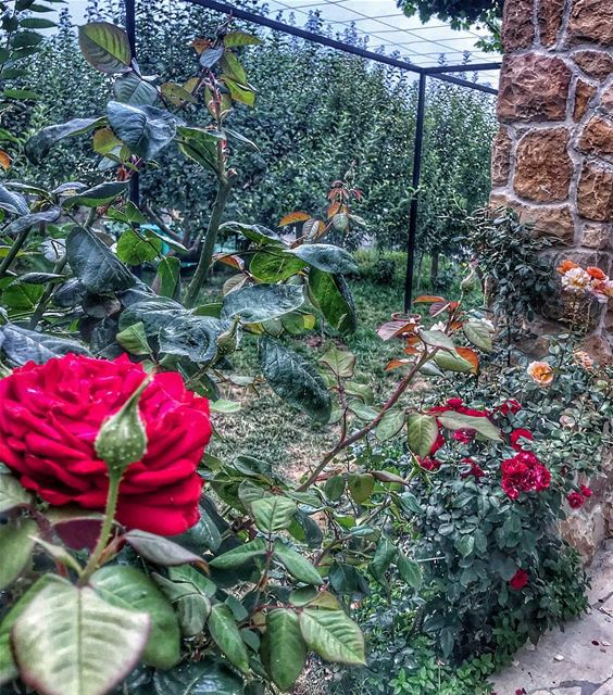Flowers mode 🌺.. flowers flowerstagram flowerslovers instalebanon... (Mount Lebanon Governorate)