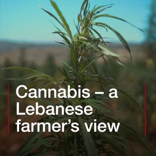 "LEGALIZE IT: ""The climate is perfect for growing hashish."" With the... (Lebanon)"