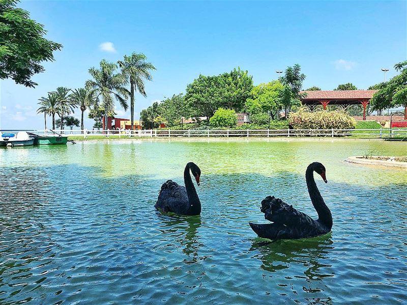 blackswan swans swanlake tyr sour lebanon livelovelebanon ... (Al-Yasmine Guesthouse)
