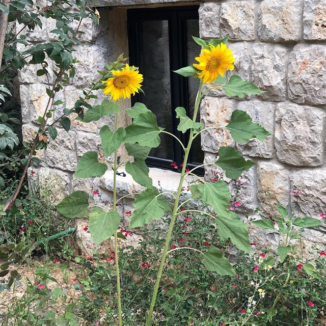 The road to freedom is bordered with sunflowers.. captureoftheday... (Chouf)