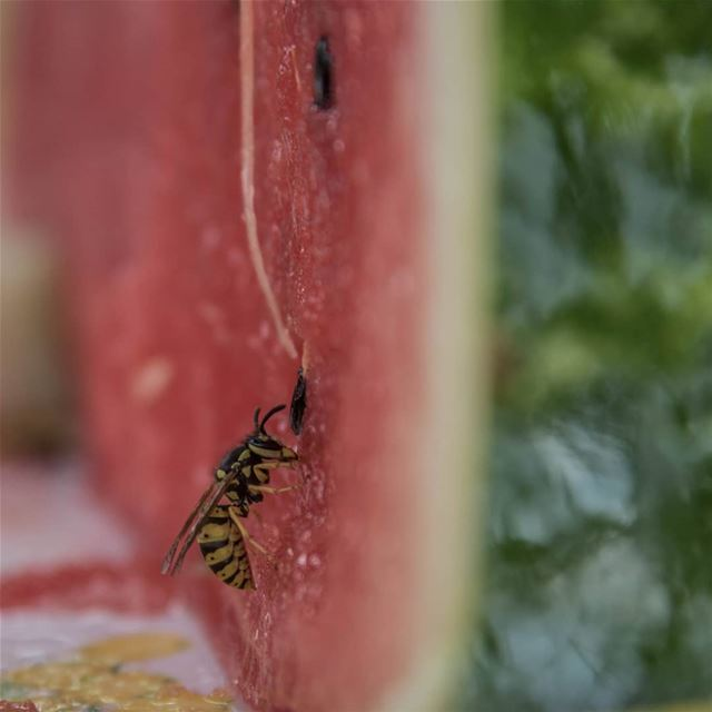 watermelon & bees always side by side🐝🍉... lebanon ...