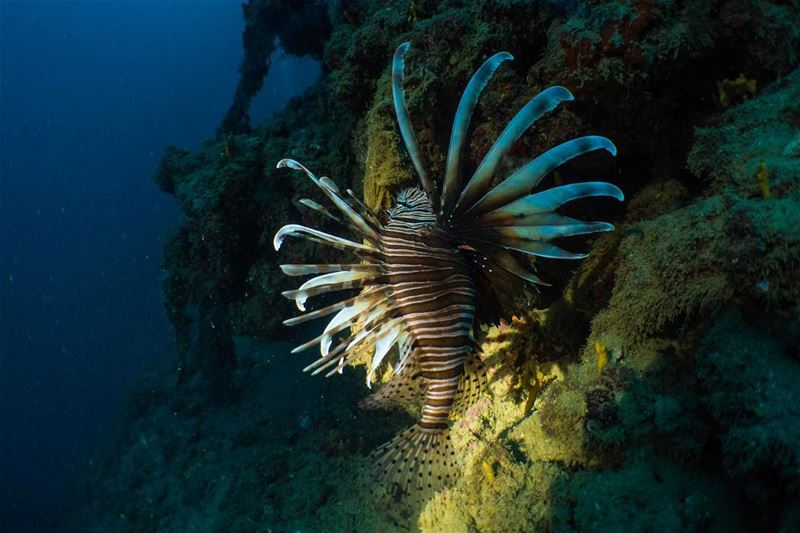 Follow the Light...from our  deep  blue comes the  lionfish ...