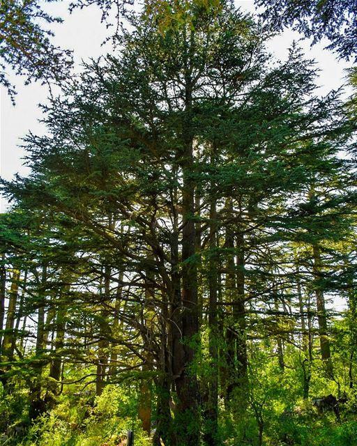 The righteous shall flourish like the palm tree: he shall grow like a... (Cedar Reserve Tannourine)