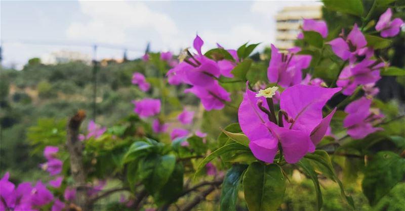 Baabda, Beirut, Lebanon. .. flower lebanon_hdr حب زهرة لبناني ...