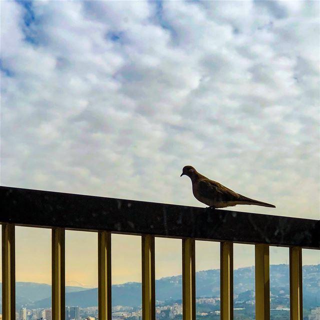 Morning....... pigeon bird morning sunrise light balcony ... (Beirut, Lebanon)