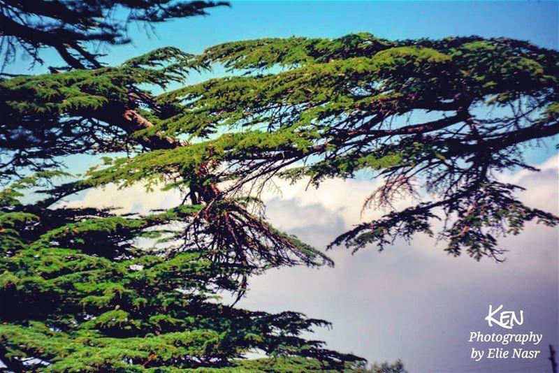 ...اعتزّ الأرز بملقاكنوسيف البطل حيّاكنما ينردّ تراب القبرعلينا ان كان... (The Cedars of Lebanon)