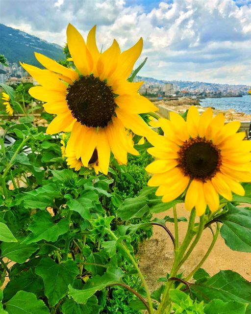 Sunflowers by the sea 🌻🌊 ......@livelovejounieh @livelovelebnan @li (Joünié)