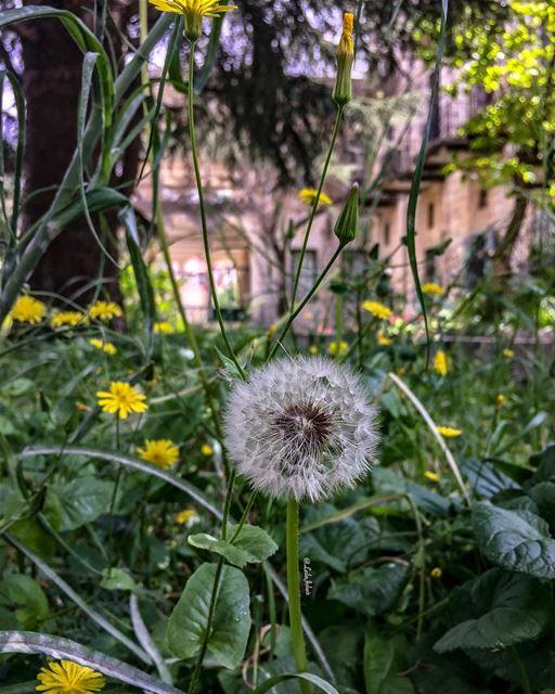 In a world of roses...be a dandelion... 🍃 dandelion livelovejezzine ... (Jezzîne, Al Janub, Lebanon)