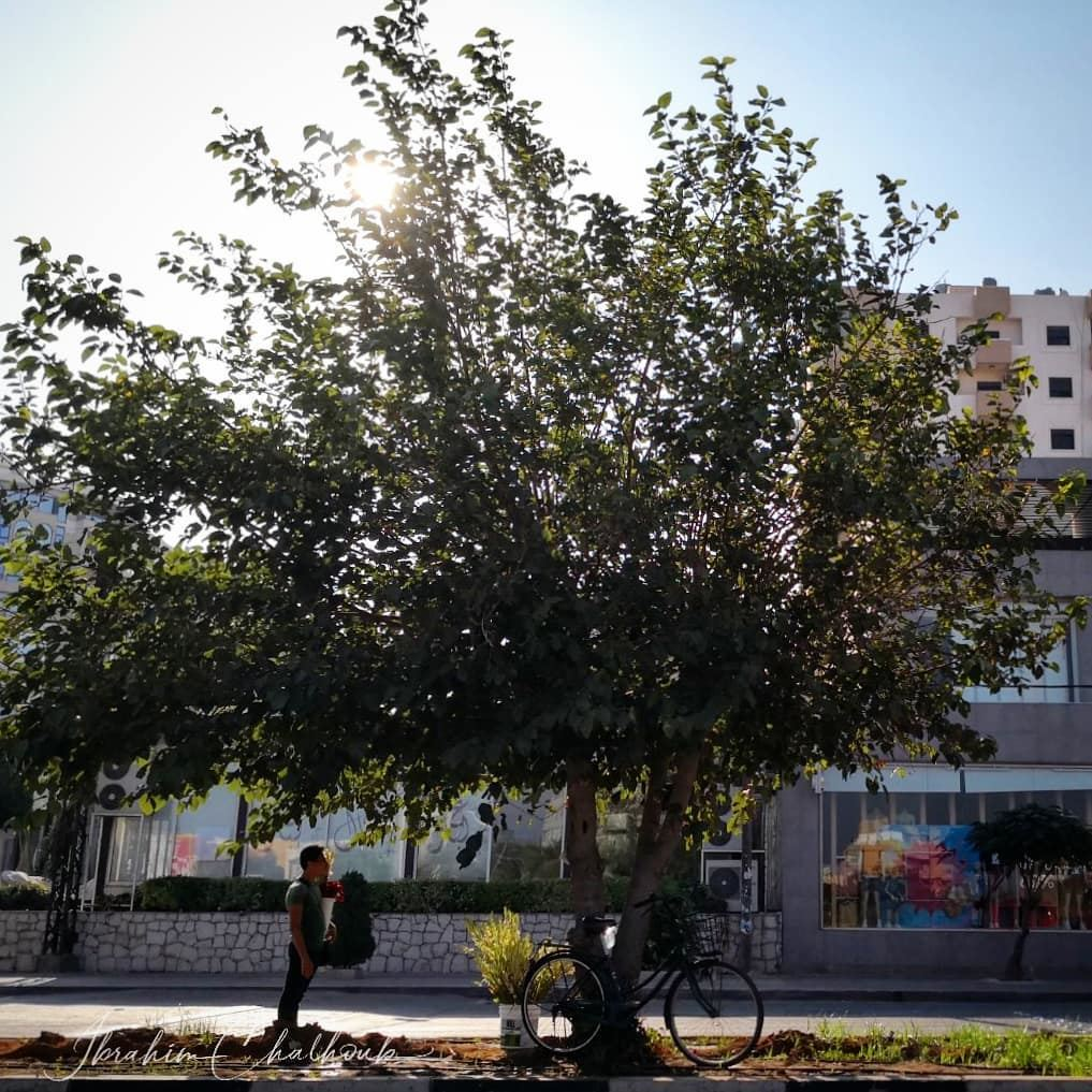 En la sombra de sus flores - ichalhoub in Tripoli north Lebanon...