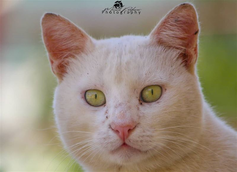 Cat protrait 🐯• • • chouf shoufreserve lebanon beirut ...